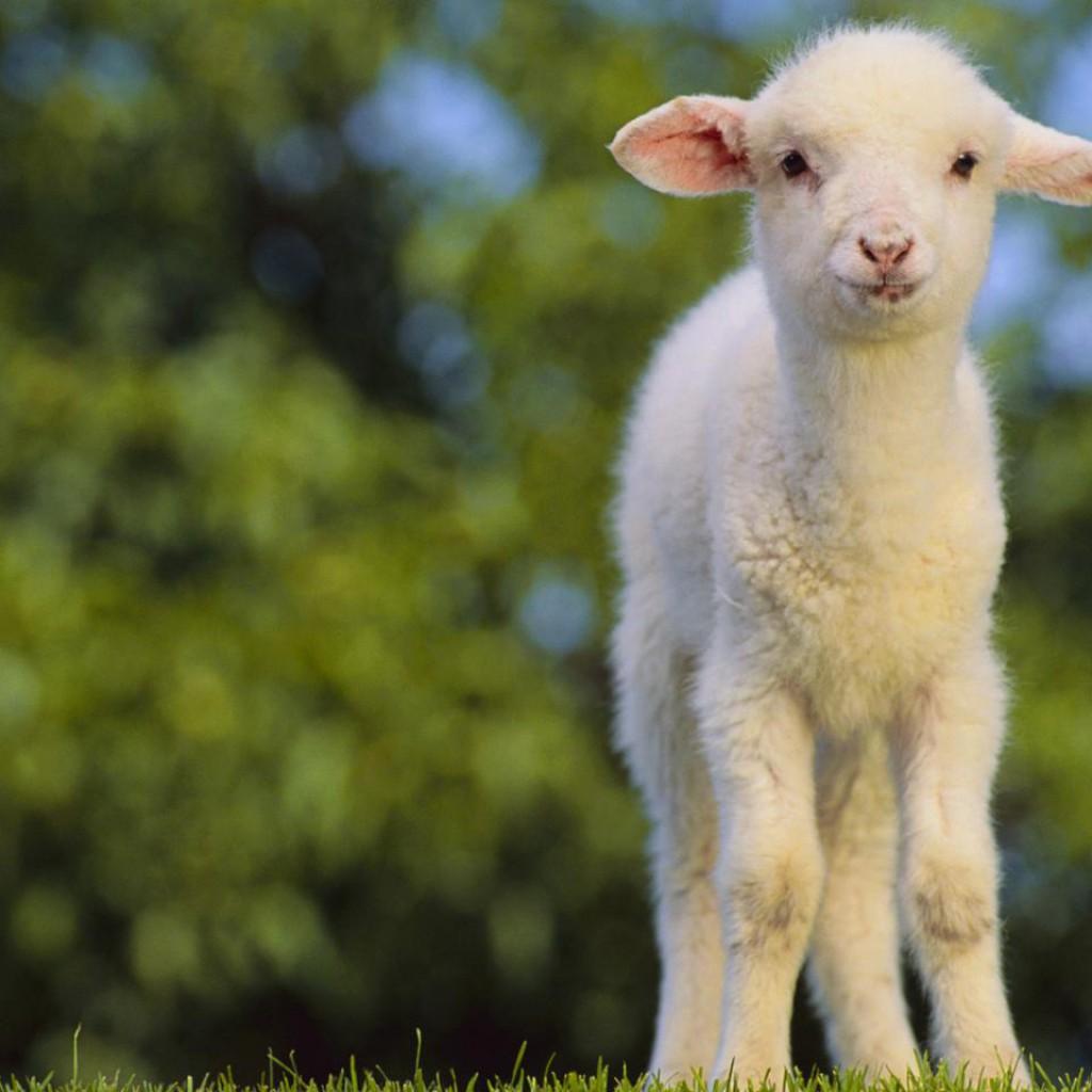 lehetséges-e enni bárányt magas vérnyomásban)